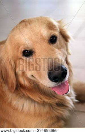 Portrait Of A Golden Retriever, Lying On The Ground, Sticking Out His Tongue And Looking At The Came