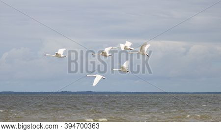 White Swans In Flight Over The Lake.