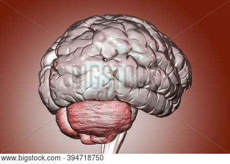 Human Brain With Close-up View Of Cerebellum, 3d Illustration. It Plays An Important Role In Motor C