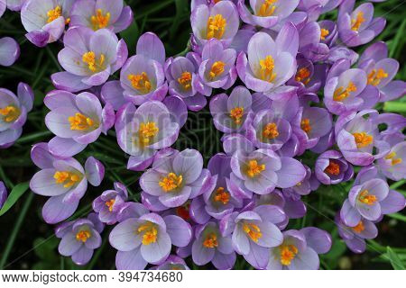 Crocus Flowers In Various Shades Of Purple And Lilac Fully Open In The Spring Sunshine With The Oran