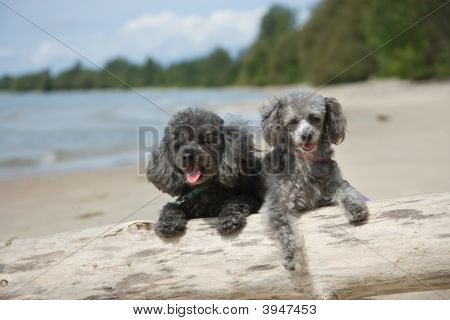 Poodles Hanging Out At The Beach