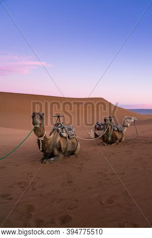 Pair Of Camels On The Desert Dune Of Erg Chigaga, At The Gates Of The Sahara, At Dawn. Morocco. Conc