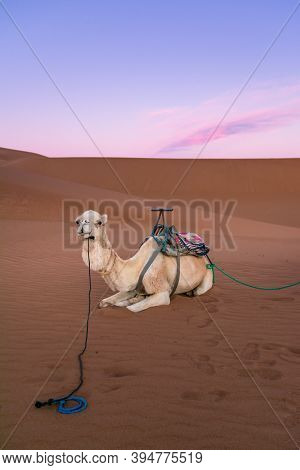 White Dromedary On The Desert Dune Of Erg Chigaga, At The Gates Of The Sahara, At Dawn Morocco. Conc