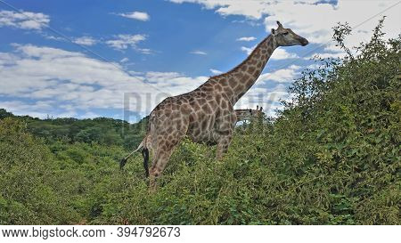 Big Beautiful Giraffe With A Long Neck, Against The Blue Sky. The Animal Rises Above The Green Bushe