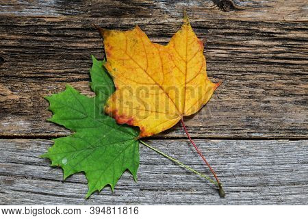 Two autumn colored leaves on wooden background