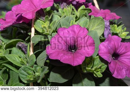 Bright Pink Petunia Hanging Plant In Planter, Petunia Flowers Close Up.