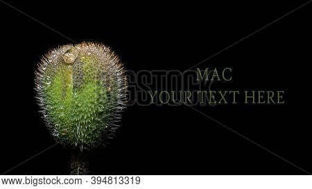 Close-up Macrophotography Of A Ripe Head Of An Opium Poppy, A Place For Your Text, A Mock Up Of A Na