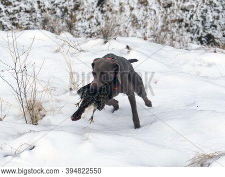 Weimaraner Hunting Dog Retrieving A Hungarian Partridge In Idaho.