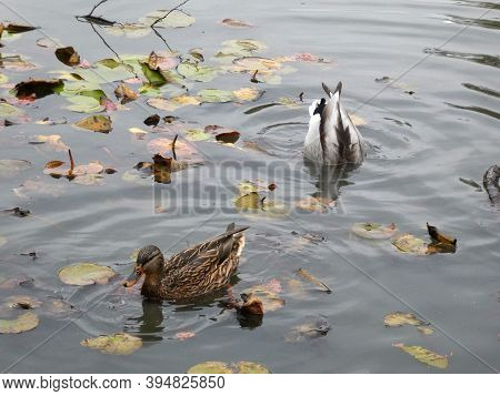 Two Ducks Swimming And Diving In The Water