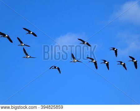 The Geese Flock Flying In Blue Sky