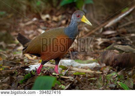 Aramides Cajaneus - Grey-necked Wood-rail  Bird In The Family Rallidae, The Rails. It Lives Primaril