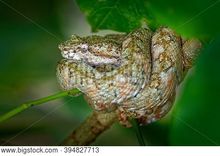 Eyelash Viper - Bothriechis Schlegeli  Venomous Pit Viper Species Found In Central And South America