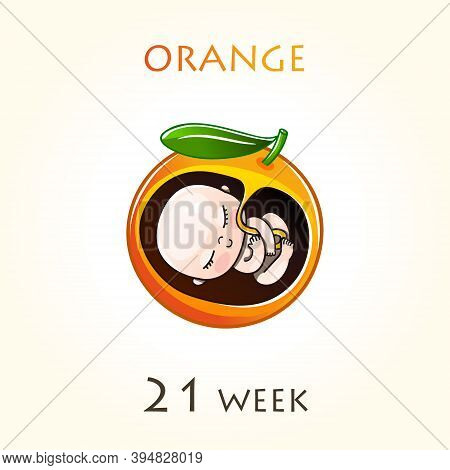 Stages Of Development Of Pregnancy, The Size Of The Embryo For Weeks. Human Fetus Inside The Uterus.