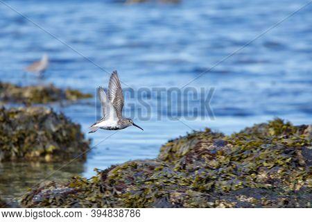 A Dunlin Flies Above Seaweed Covered Rocky Shoreline In The Spring, Juan De Fuca Strait, British Col