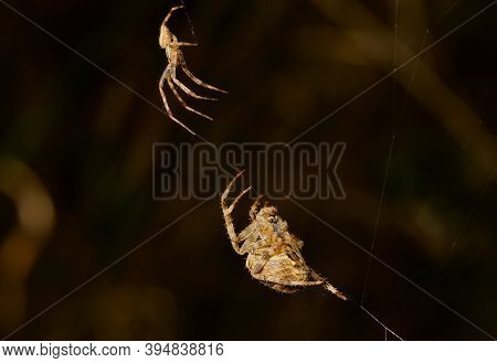 Male And Female Orb Weaver Spiders Meet On A Web, Vancouver Island, British Columbia