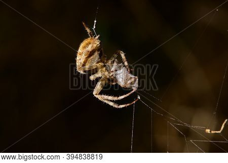 Female Cross Orb Weaver Spider Wraps Up Her Prospective Mate To Eat, Vancouver Island, British Colum