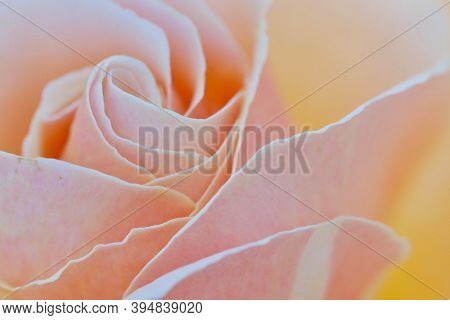 Close Up Of A Peach Coloured Rose Showing The Spiral Pattern Of Its Petals, Spring Time, British Col