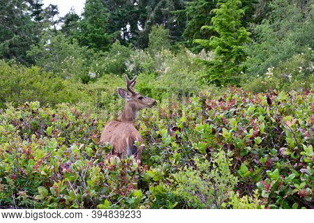 Black-tailed Deer Buck With Velvet Covered Antlers Browses On Salal Bushes On Island On West Coast O