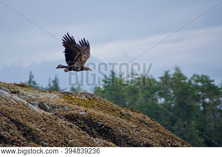 An Immature Bald Eagle Takes Flight From A Barnacle Covered Rock In The Broughton Archipelago, Briti