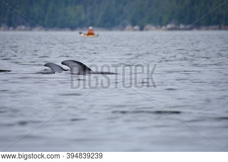 Two Pacific White-sided Dolphins Surface Behind A Kayaker In The Broughton Archipelago On An Overcas