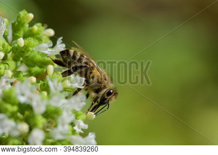 Cloise Up Of  Honey Bee Getting Nectar From White Oregano Flowers On A Summer Day