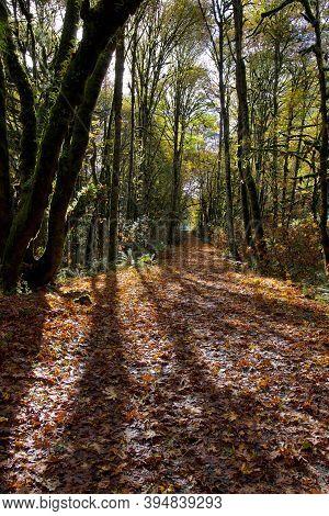 Sun Streams Through Maple Trees Along An Autumn Leaf Covered Country Lane, Goldstream Provincial Par