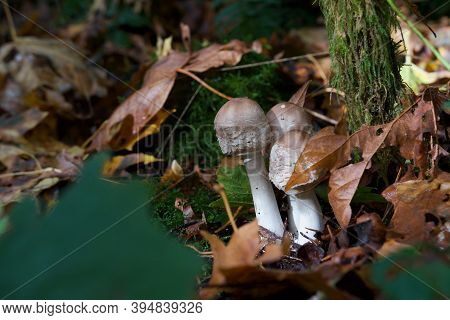 A Clump Of Brown And White Mushrooms Grows Out Of The Fallen Maple Leaves On The Forest Floor, Golds