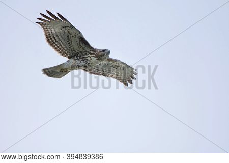 Juvenile Red-tailed Hawk Soars Overhead Looking For Prey, Vancouver Island, British Columbia