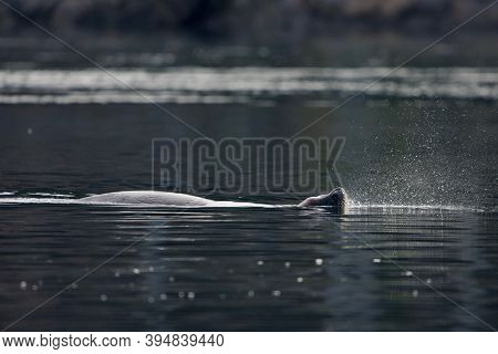 Floating California Sea Lion Lifts Its Head To Exhale Sending A Puff Of Spray Into The Air,  Sooke H