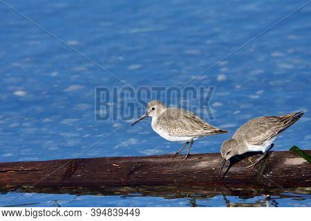 Two Dunlin In Winter Plumage Stand On Piece Of Driftwood Near Shore, Whiffen Spit,  Vancouver Island