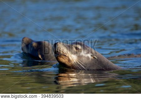 Two California Sea Lions Lit By Autumn Sun Swim In The Ocean With Their Heads Up, Vancouver Island,