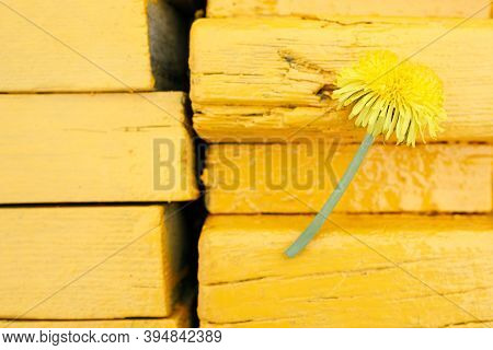 Yellow Dandelion Flower Against The Background Of A Yellow Bench Made Of Boards. Yellow On Yellow Ou