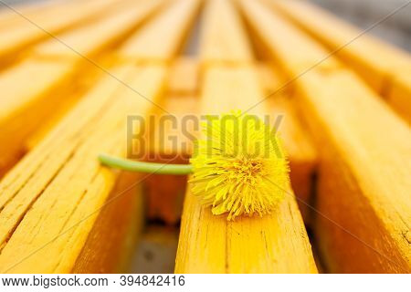 Yellow Dandelion On A Yellow Bench With Old Wooden Boards. Yellow On Yellow