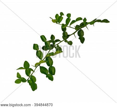 Greenery Branches Of Kaffir Lime Leaves Plant Know As Makrut Vegetable Or Thai Lime Leaf And Citrus