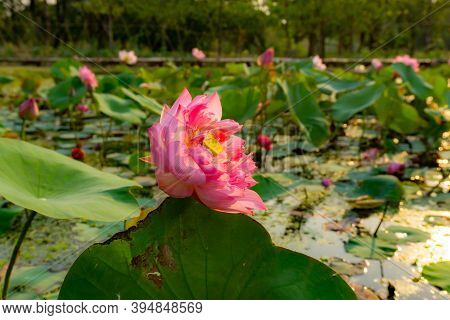 Beautiful Pink Petals Of Lotus Flower Blooming On Green Leaves In A Pond And Natural Landscaped