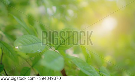 Natural Greenery Young Freshess Green Leaves Under Blurry Orange Sof Light Backgrounds, Concept For