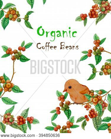 Red Ripe Coffee Fruits Branches, Green Leaf And Orange Bird  Illustration Pattern And Texts \\\