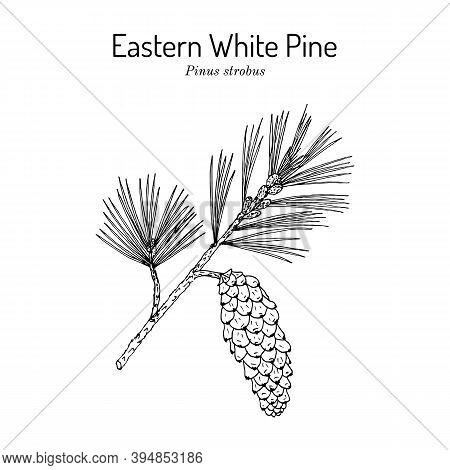 Eastern White Pine Pinus Strobus , Medicinal Plant, Michigan And Maine State Tree. Hand Drawn Botani