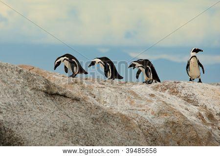 Jackass African Penguins