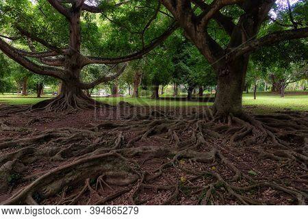 Ficus Drupacea Roots In Royal Botanical Gardens In Peradeniya, Sri Lanka. This Tropical Native Tree