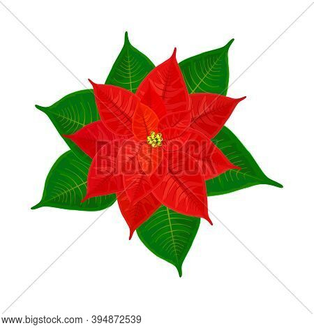 Red Christmas Poinsettia Isolated On White Background. Christmas Star Symbol. Pulcherrima Blooming P