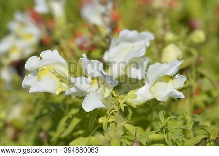 Snapdragon White Flowers - Latin Name - Antirrhinum Majus