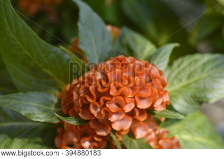 Twisted Orange Cockscomb - Latin Name - Celosia Argentea Var. Cristata Twisted Orange