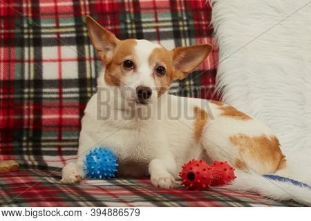 Sad Jack Russell Terrier Dog With Toys Lying On Sofa