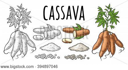 Cassava Manioc Plants With Leaves And Tuber. Vector Vintage Engraving