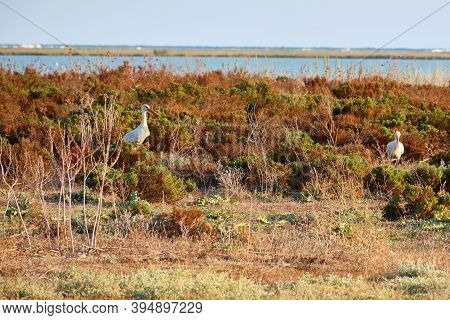 Pair Of White Storks In The Wild. Ciconia Ciconia
