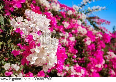 Purple And White Flowers On The Bush. Thorny Ornamental Bougainvillea Spectabilis