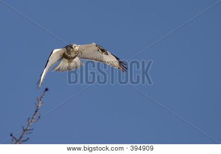 Rough Legged Hawk In Flight