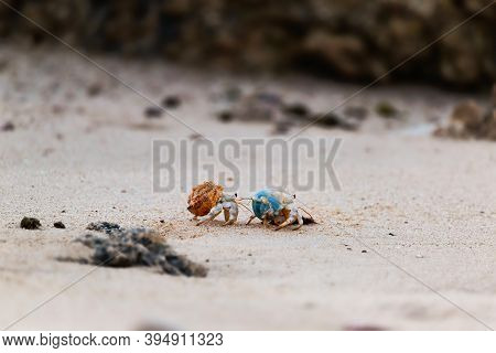 Circa August, 2020. Two Hermit Crabs Put On Their Shells And Walk Across The Beach Sand Near Sur, Om