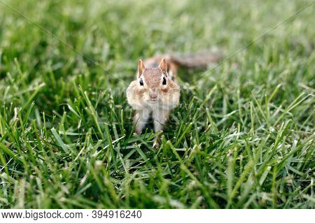 Cute Small Striped Brown Chipmunk With Large Cheeks Pouches Sitting In Green Grass. Yellow Ground Sq
